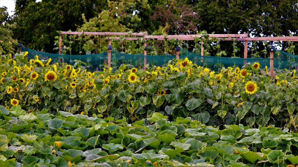 Rickelrath Sonnenblumen 2