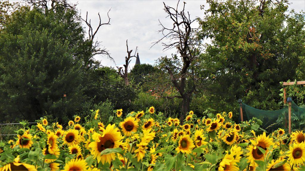 Rickelrath Sonnenblumen